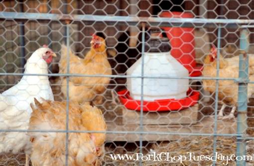 Ferncliff Chickens