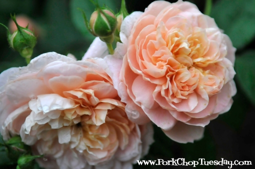 double peach rose
