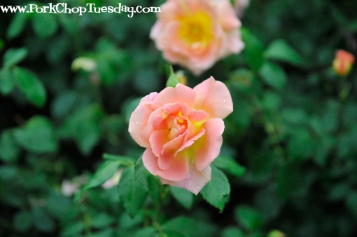peach and yellow rose