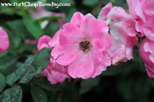 rain-kissed roses