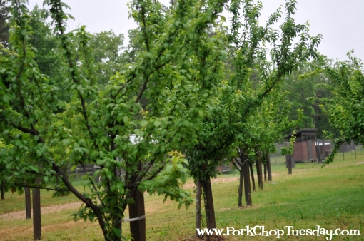 stone fruit orchard
