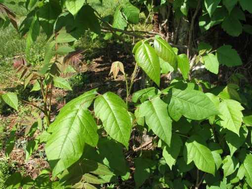 Poison_Ivy628