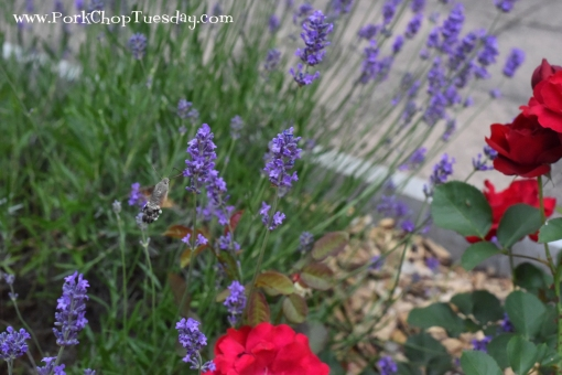 hummingbird-moth-in-lavender